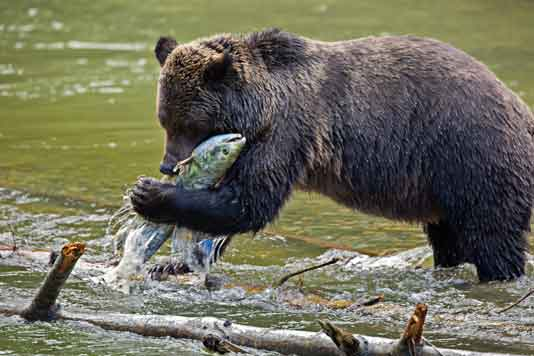 Grizzly bear eating chum salmon in river. Image by Pat and Rosemarie Keough